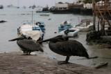 pelicans in Puerta Ayora