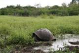 giant tortoise in the wild