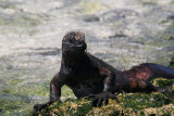 marine iguana feeding on seaweed