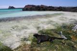 marine iguana feeding on seaweeds