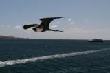 frigatebird in flight