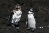 Galapagos penguin is the only penguin to live on the equator