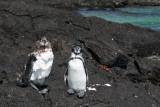 Galapagos penguins are endangered, with an estimated population size of around 1,500 individuals in 2004