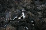frisky penguins