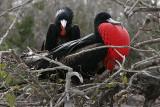 frigatebird couple
