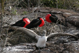 frigatebirds nesting and young booby trying to fly