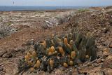 lava cactuses on Isla Genovesa