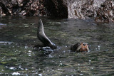 fur seal - they have bigger eyes than sealions