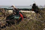 frigatebirds nesting