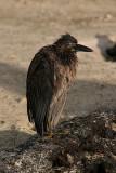 lava heron on Genovesa