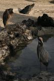 lava herons on Genovesa