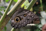 Owl butterfly (=caligo butterfly) has large eyespots on the underside of the hindwings