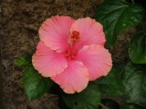 Hibiscus big.jpg