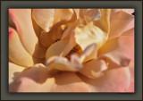 A Summer Rose In Spring Light