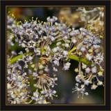 Like Botanical Legos©Green Bark Ceanothus aka California Lilac (very fragrant)