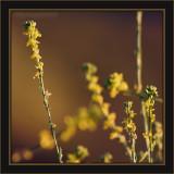 Commonly Called Wild MustardI believe Hedge Mustard Is Proper