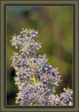 Green Bark Ceanothus aka California Lilac