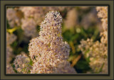 A Cali' Lilac SnowmanGreen Bark Ceanothus