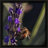 Deep Purple Honey Manufacture