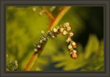 Sun Emblazoned Nautiloid Beauty of Fern's Unfurling In Spring