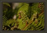 Nautiloid Beauty of Fern's Unfurling In Spring
