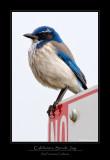California Scrub-Jay
