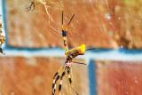 Golden Silk Orb-Weaver Spider & Cautious Lover