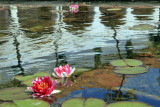 Waterlilies with Reflection of Santa Barbara Mission