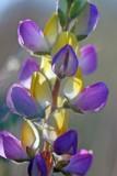 Yellow-purple lupine