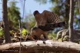 Épervier de Cooper (Cooper's Hawk)