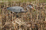 Grand Héron (Great Blue Heron)