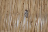 Bruant des marais (Swamp Sparrow)