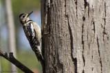 Pic maculé (Yellow-bellied Sapsucker)