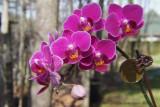 Orchidée miniature