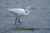 Grande Aigrette (Great Egret)