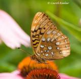 Great Spangled Fritillary 2