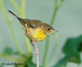Immature Yellowthroat?