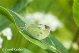 A Resting Cabbage White Butterfly