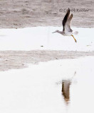 Greater Yellowlegs Flight