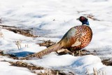 Ring Neck Pheasant