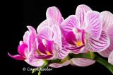 Phalaenopsis Vivian