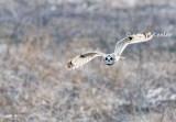 Short Eared Owl Flight