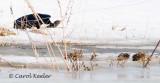 Crow Grabbing a Meadow Vole
