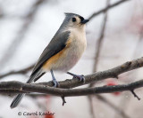 Tufted Titmouse at Attention
