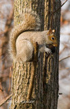 Squirrel with Tasty Walnut