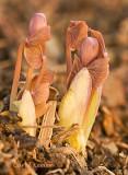 Twinleaf Buds Emerging