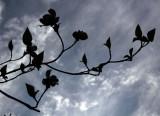 Dogwood  Clouds