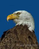 AMERICAN BALD EAGLE  IMG_0427