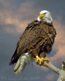 AMERICAN BALD EAGLE  (Haliaeetus leucocephalus)  IMG_0402