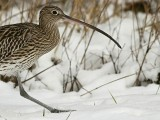Wulp / Curlew